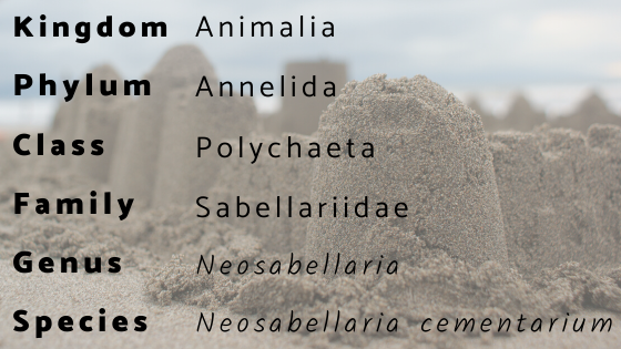 Classification text reads Kingdom Animalia, Phylum Annelida, Class Polychaeta, Family Sabellariidae, Genus/Species Neosabellaria cementarium