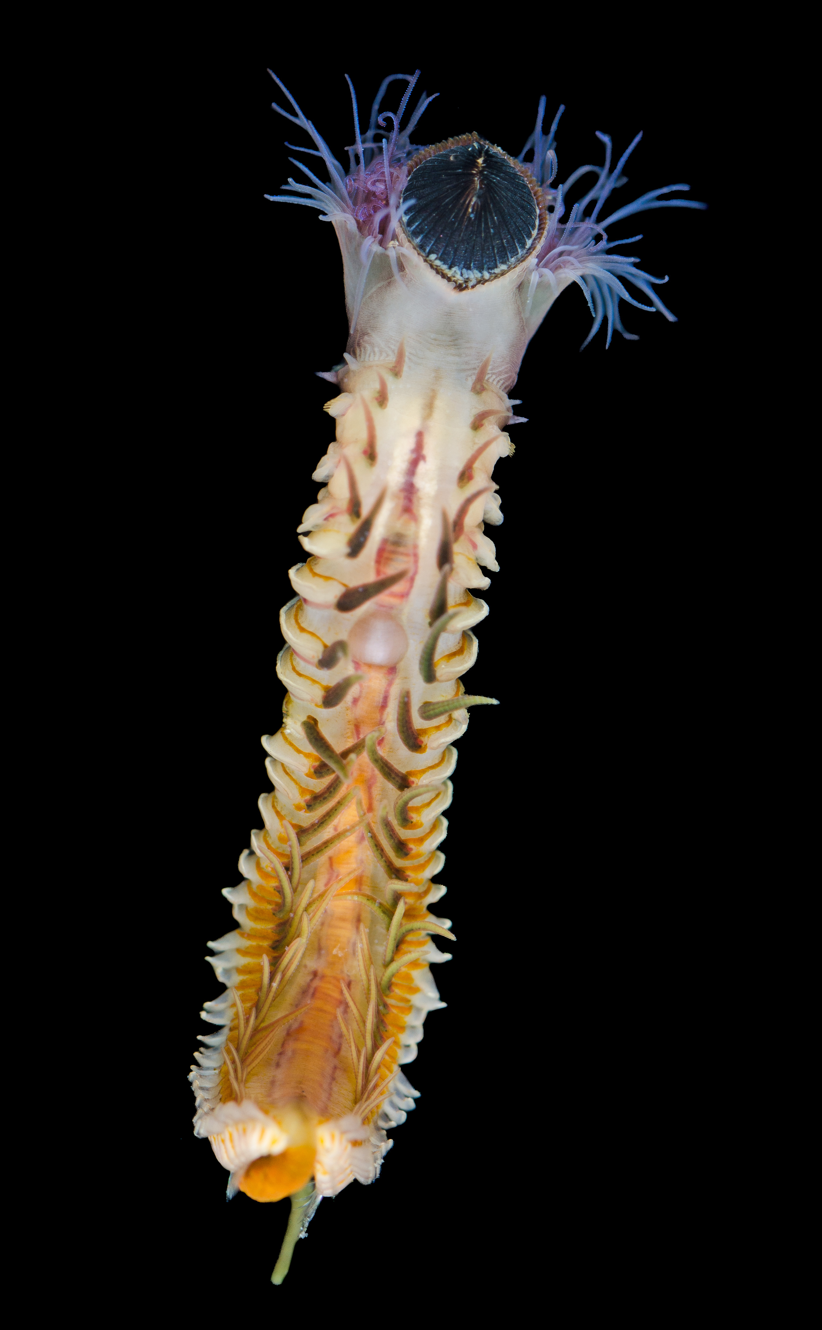 A spiky white and yellow worm with purple tentacles on a black background.