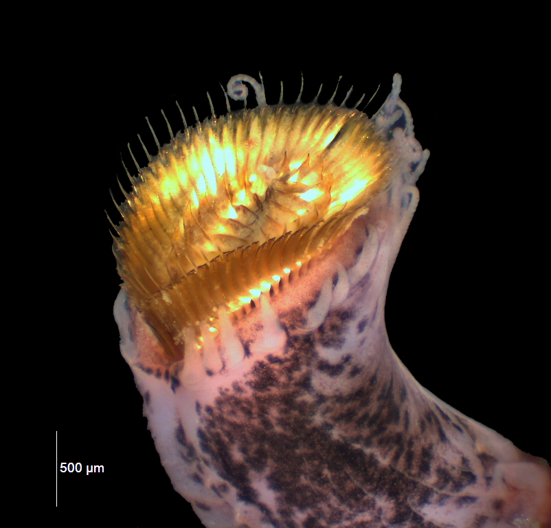 Top end of worm with spiky golden hairs and curly pink tentacles, on a black background.