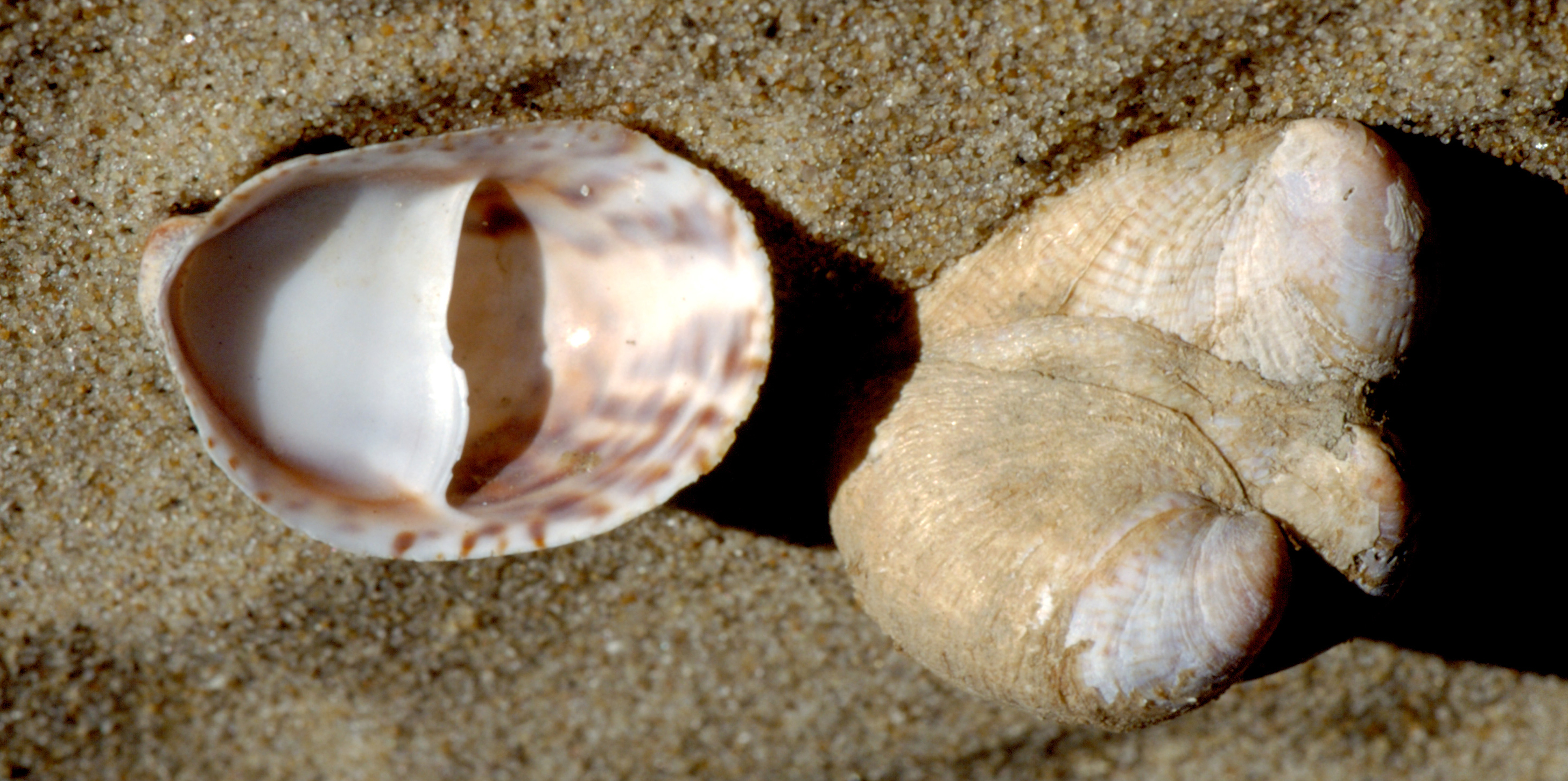 An upside-down, oval-shaped shell with a white underside lays on brown sand beside several similar shells stacked together.