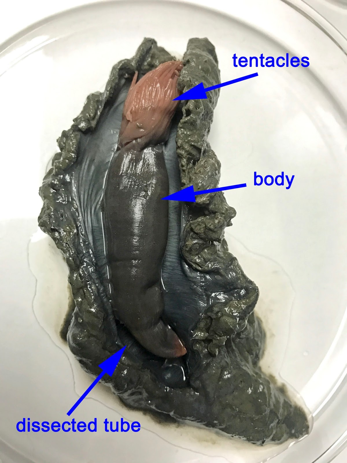 "Cross-section of gray clump with labels: center is ""dissected tube."" Inside, a thick lumpy pouch—""body,"" pinkish paintbrush head—""tentacles"""