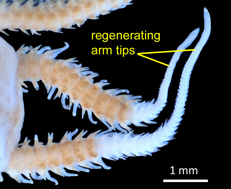 "Words indicate ""regenerating arm tips"" while indicating skinnier ends extruding from brittle-star arms."