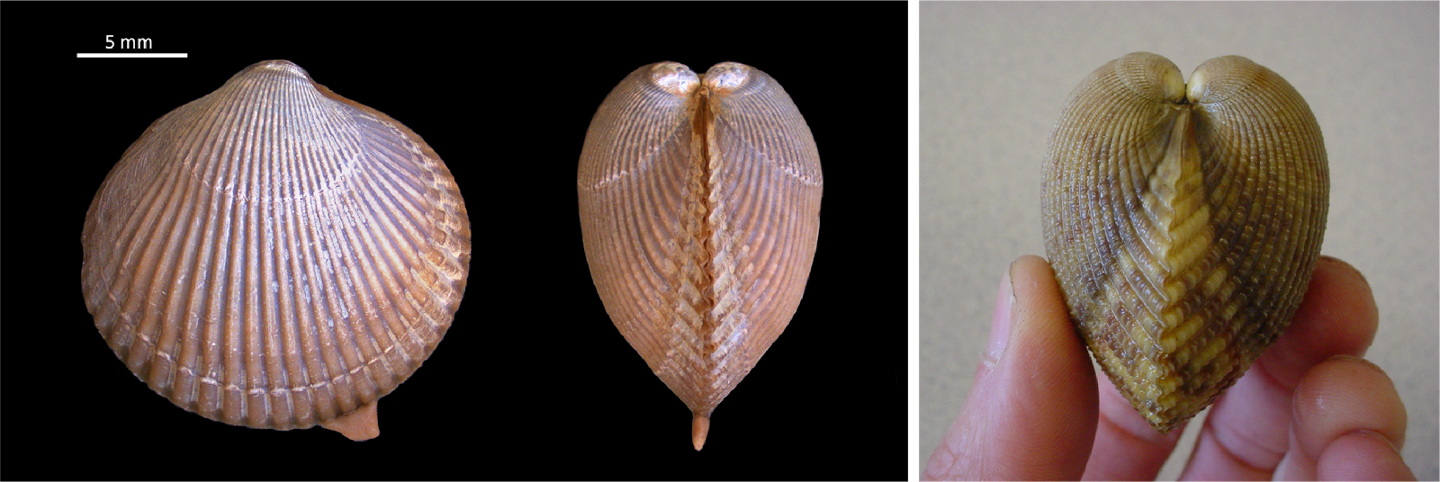 front view of cockle, a clam-like animal, and two side views, one held by a human hand