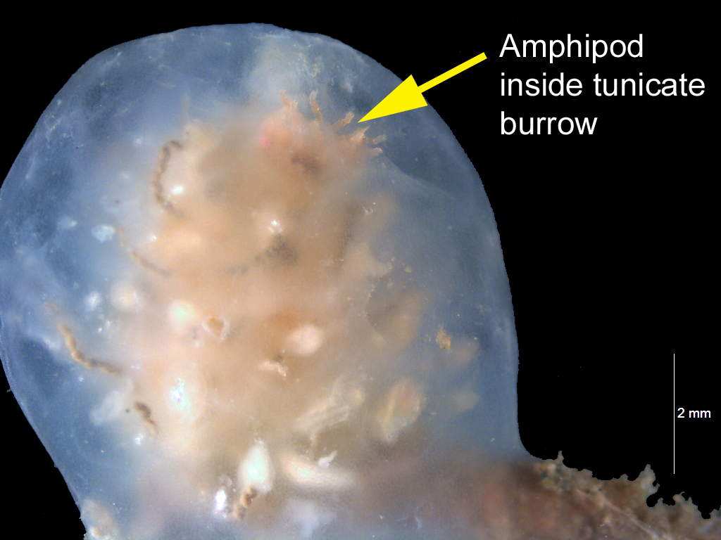 Yellow arrow points to cavity in white globular tunicate on black background. Text reads, Amphipod inside tunicate burrow