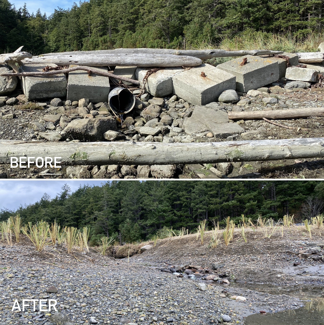 A Succia Island beach with debris before and a restored beach after