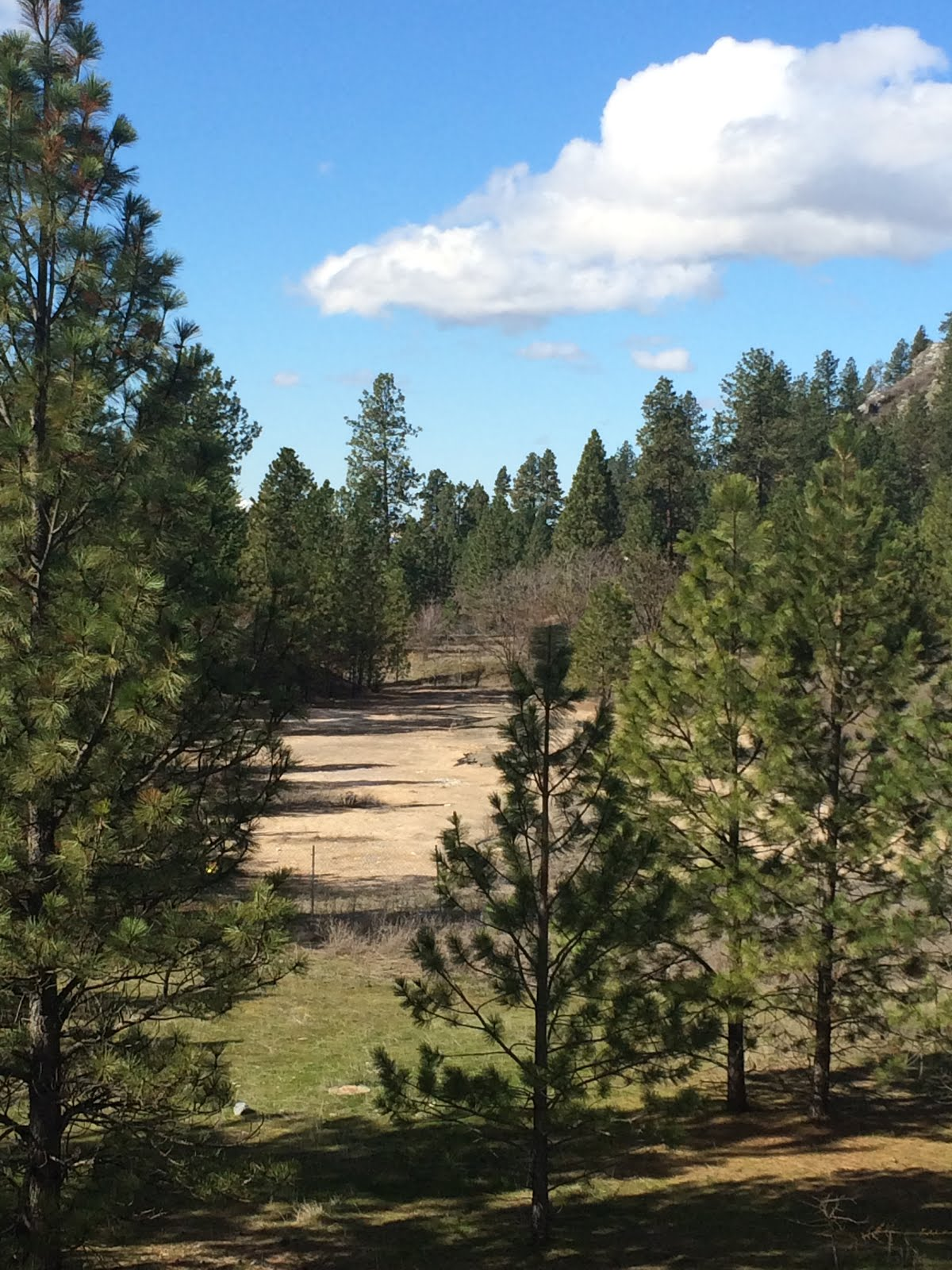 A bare patch of ground between Ponderosa pines.