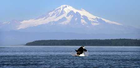 An Orca breaching in Puget Sound with Mt. Rainier in the background.