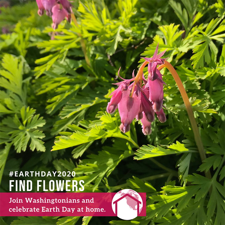 Bleeding heart flowers with text: #EarthDay2020 Find Flowers campaign. Join Washingtonians and celebrate Earth Day at home.