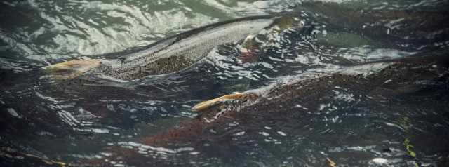 Closeup of 2 salmon swimming.