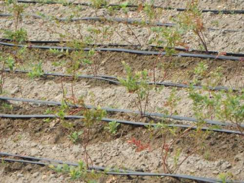 Blueberry plants being watered with drip irrigation lines.