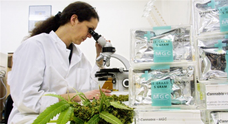 Female lab technician looks into a microscope with cannabis on the glass slide. A marijuana plant is in the foreground.