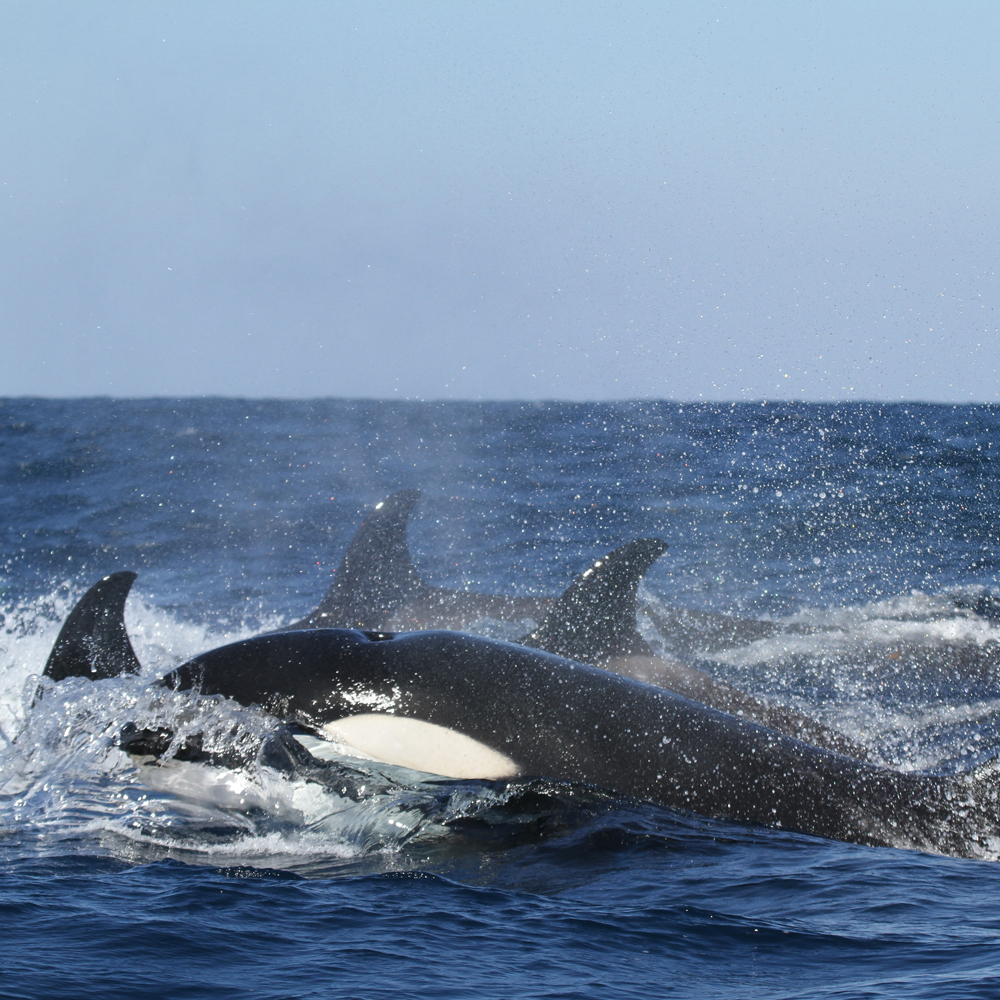 A group of orcas in the water