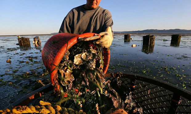 Man emptying wire bucket full of oysters into a large bin. Coastal water in background.