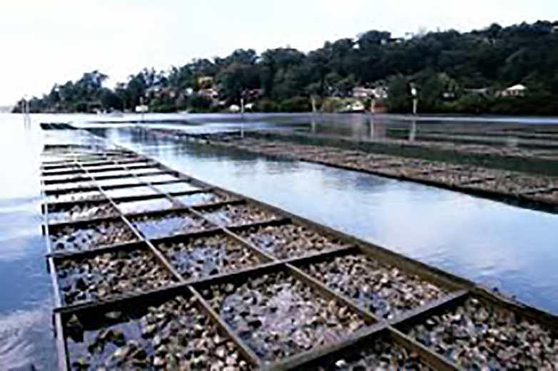 human-made oyster beds in the water
