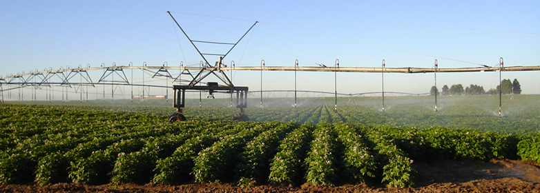 Pivot sprinkler irrigates potato crop