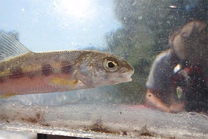 closeup view of small fish in clear acrylic measuring box with the reflection of a stream scientist wearing a tan fishing hat on the box