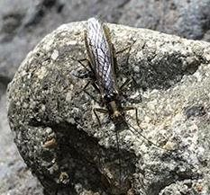 A thin insect with long wings, head, and antennae faces doward on a round gray granite rock on a streambank