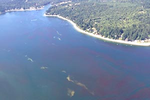View of the water and shoreline of Puget Sound from high above - The water is blue; however, there are extensive red patches of algae and fairly large whitish-tan patches that are smacks of jellyfish