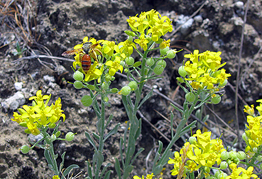 Yellow flowers on green stalks wit a red insect on one of the flowers.