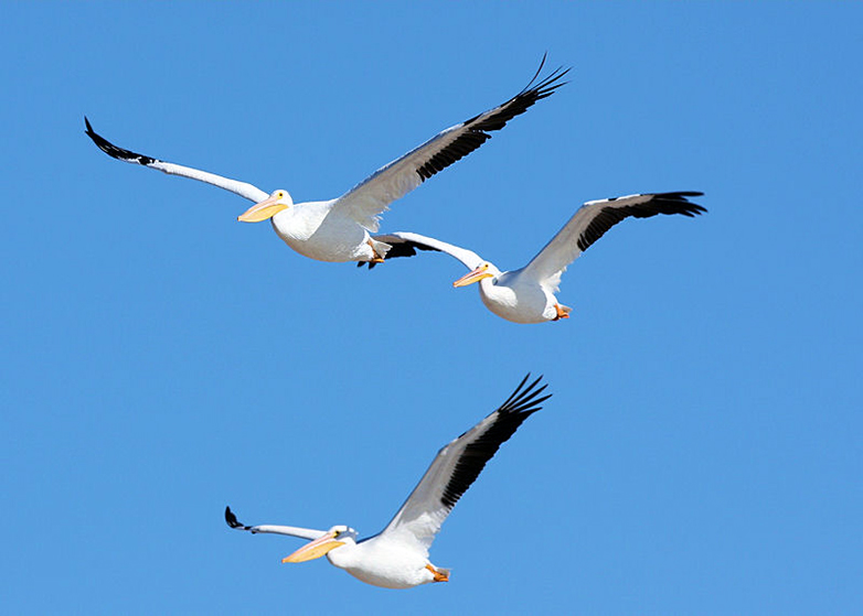 Three pelicans soar over Hanford site.