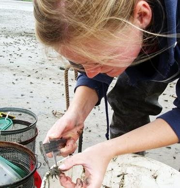 Person measuring width of small shore crab during monitoring activities on Padilla Bay shoreline.