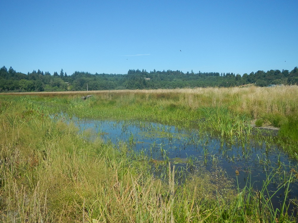 East Fork Lewis Wetland Mitigation Bank from July 2015 showing water and wetland plants and vegetation.