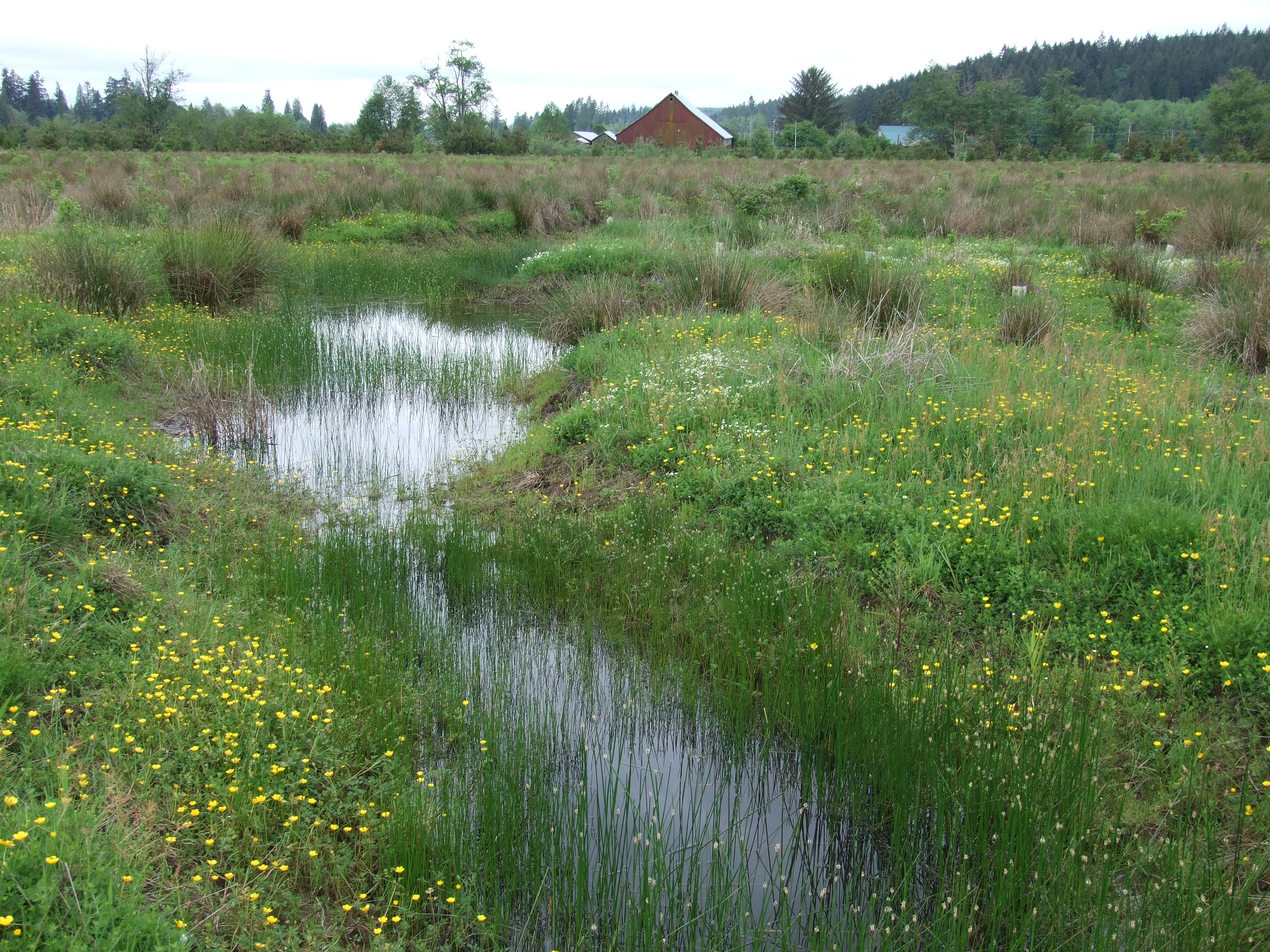 North Fork Newaukum Bank in 2008, showing standing water and flowering, grass-like vegetation.