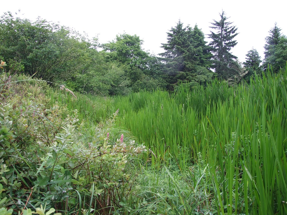 Weatherwax Wetland Mitigation Bank site with wetland vegetation in the foreground and trees in the background.