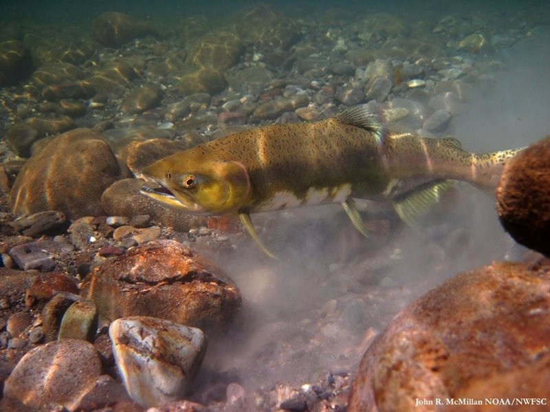 A chum salmon excavates a loose gravel area to create a nest (called a redd). She lays her eggs in and covers them up.