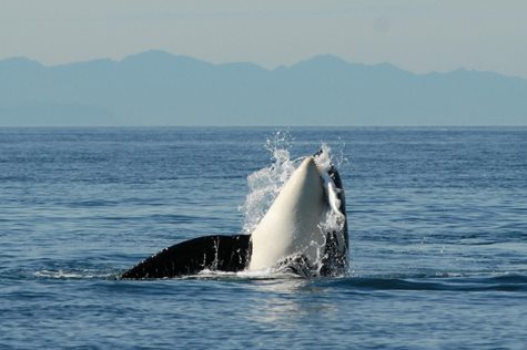 Southern resident orca bursting from water and capturing a fish in its mouth.